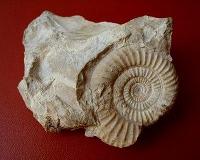 ammoniti2